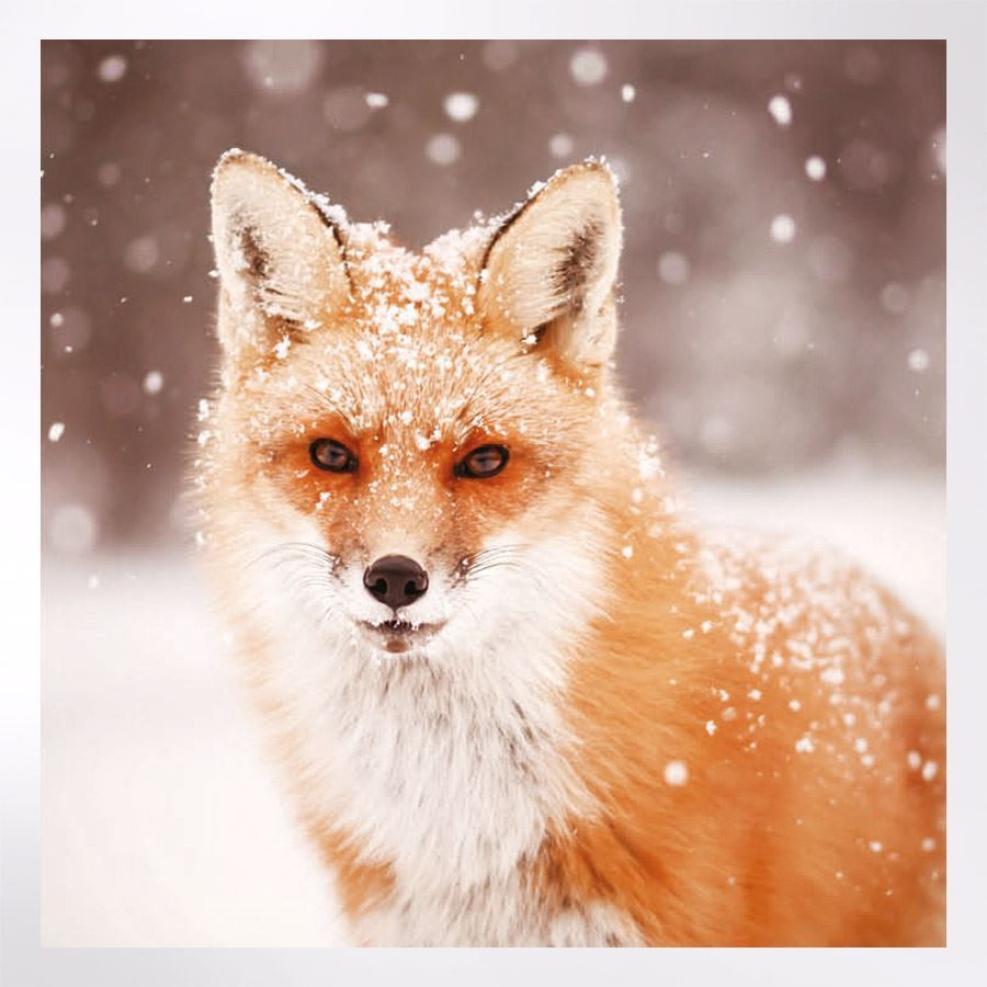 Woodland Trust Fox Christmas Card