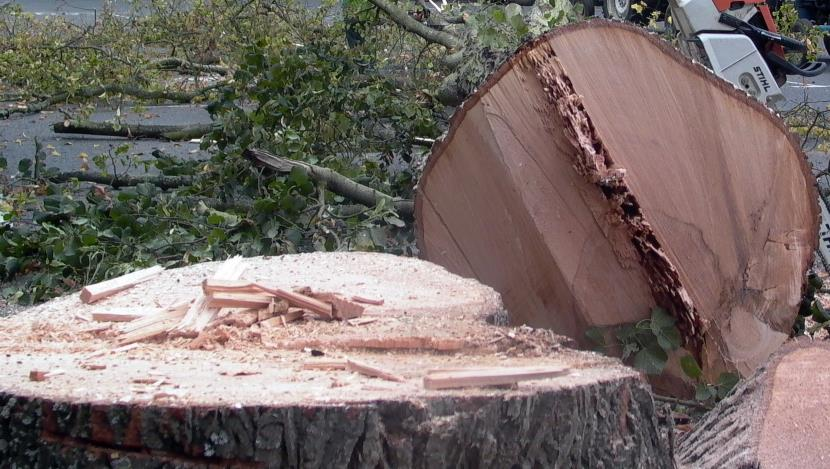 Mature Lime tree felled to ground level, tree diseased and rotten.