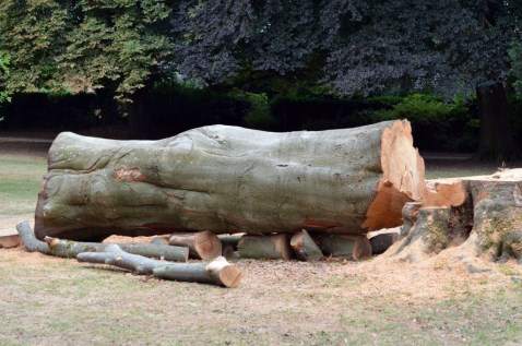 Large Tree Felled