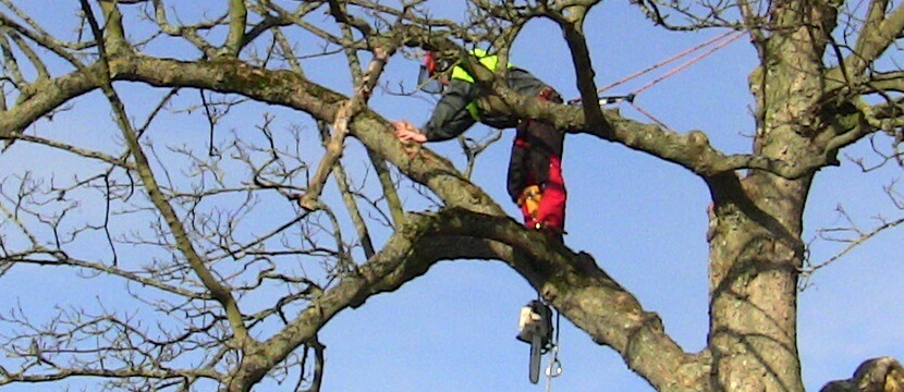 Bawden Tree Care - Crown reduction.